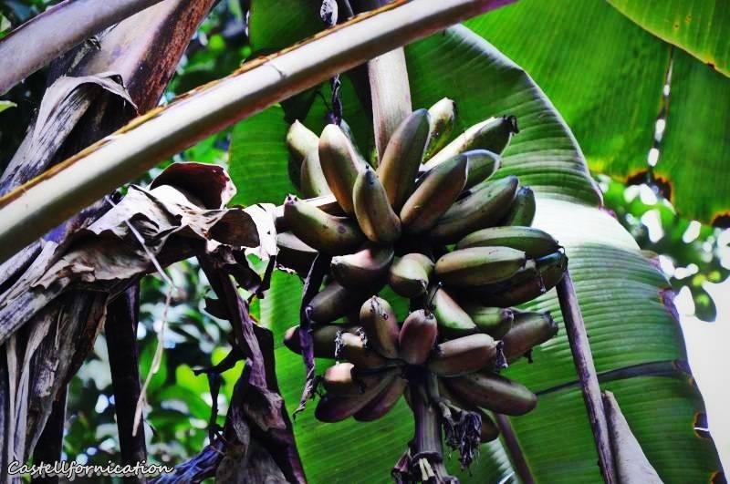 Zanzibar spice tour - zanzibar bananas