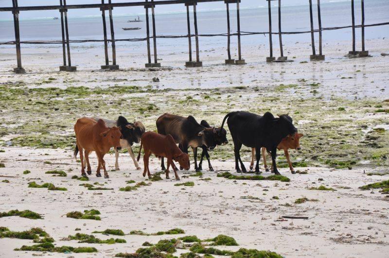 Zanzibar - Beach life of Jambiani cows