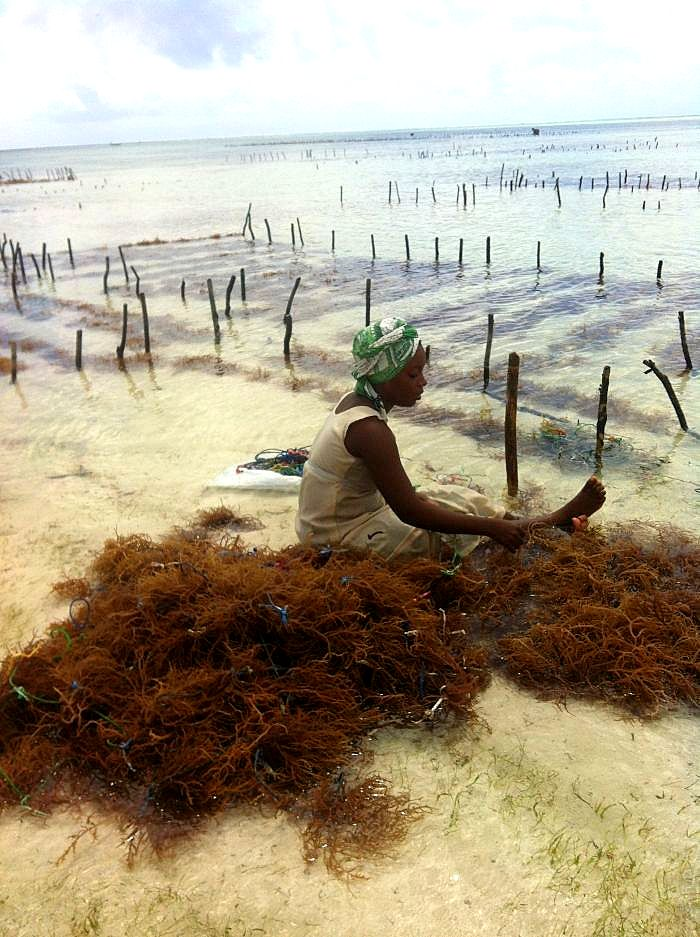Zanzibar island-Seaweed plantation - hard work all year round